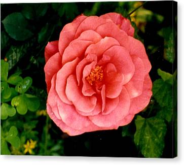 A Pink Rose Canvas Print by Mary Armstrong