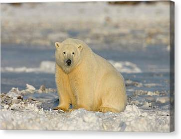 A Polar Bear Sits On The Frozen Surface Canvas Print by Hugh Rose