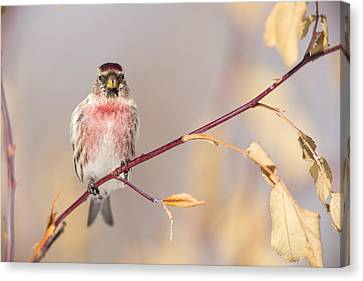 A Pretty Male Redpoll Canvas Print by Tim Grams