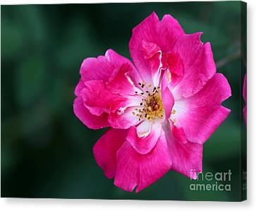 A Pretty Pink Rose Canvas Print by Sabrina L Ryan