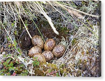 A Ptarmigans Nest On The Greenland Tundra Canvas Print by Ashley Cooper