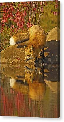 A Real Fox Canvas Print