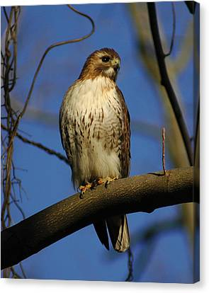 Canvas Print featuring the photograph A Red Tail Hawk by Raymond Salani III