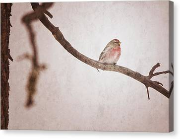 A Redpoll Bird On The Branch Of A Pine Canvas Print by Roberta Murray