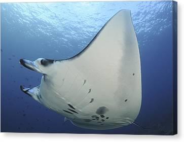 Devil Ray Canvas Print - A Reef Manta Ray Swimming In Komodo by Steve Jones