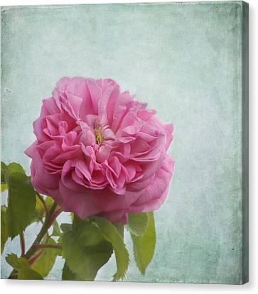 A Rose Canvas Print by Kim Hojnacki