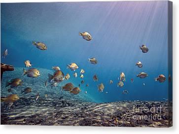 Cavern Canvas Print - A School Of Bluegill And Sunfish  Swim by Michael Wood