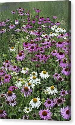 A Sea Of Echinacea  Canvas Print