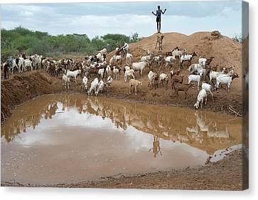 A Sheperd Tending Goats At A Waterhole Canvas Print by Tony Camacho