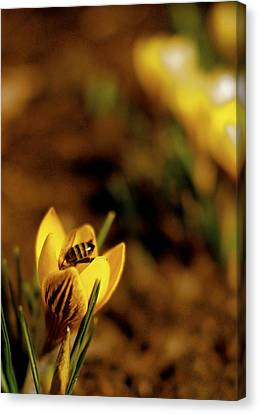 A Sign Of Spring Canvas Print by Rona Black