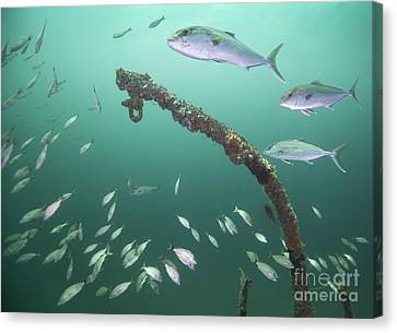 A Small School Of Greater Amberjack Canvas Print by Michael Wood
