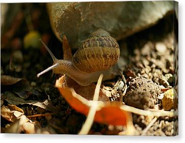 A Snail On The Move Canvas Print