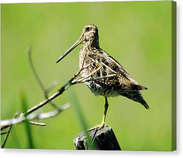 Rare Bird Canvas Print - A Snipe  by Jeff Swan
