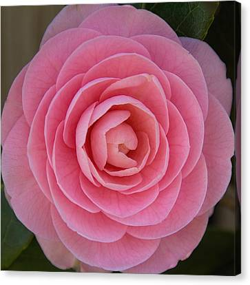 Canvas Print featuring the photograph A Soft Blush by Jemmy Archer