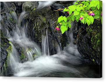 A Sprig Of Salmonberry Flowers Canvas Print