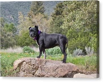 Staffordshire Bull Terrier Canvas Print - A Staffordshire Bull Terrier Standing by Zandria Muench Beraldo