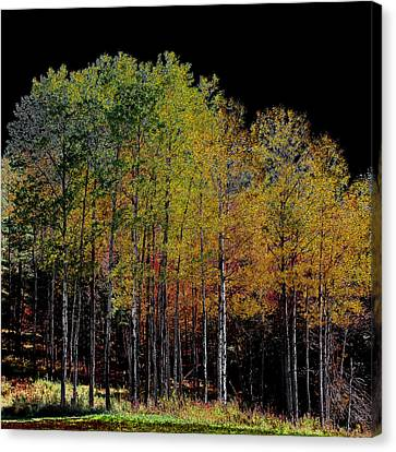 A Stand Of Birch Trees In Autumn Canvas Print