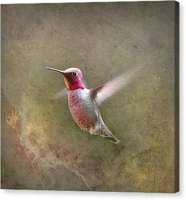 Male Hummingbird Canvas Print - A Star Is Born by Angie Vogel