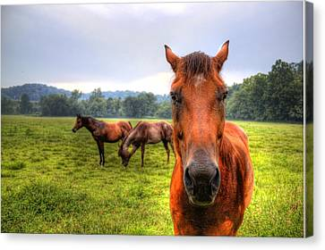 A Starring Horse 2 Canvas Print
