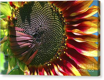 A Sunflower For The Birds Canvas Print by Sharon Talson