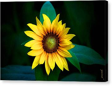 A Sunflower Named Stella Canvas Print by Gwyn Newcombe