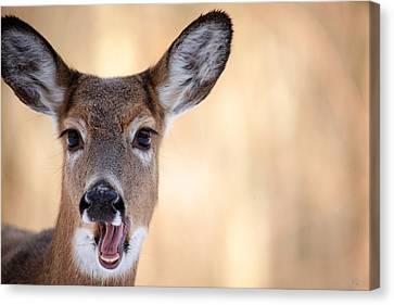 A Talking Deer Canvas Print by Karol Livote