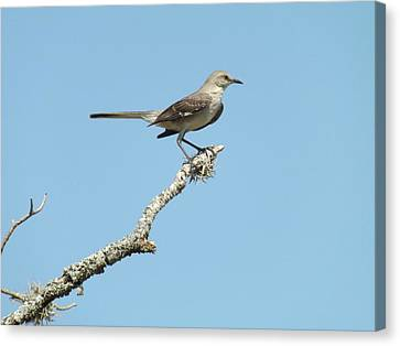 A Texas Mockingbird Canvas Print by Rebecca Cearley