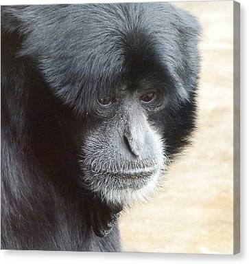 A Thoughtful Siamang Canvas Print by Margaret Saheed