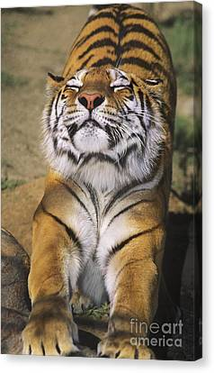 A Tough Day Siberian Tiger Endangered Species Wildlife Rescue Canvas Print by Dave Welling