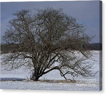 A Tree In Canaan 2 Canvas Print by Randy Bodkins