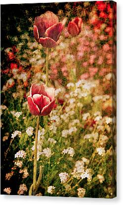A Tulip's Daydream Canvas Print by Loriental Photography