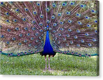 Canvas Print featuring the photograph A Vargos Peacock by Tim Stanley