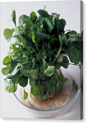 A Watercress Plant In A Bowl Of Water Canvas Print by Romulo Yanes