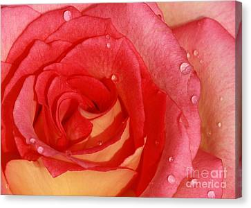 In Focus Canvas Print - A Wet Rose by Sabrina L Ryan