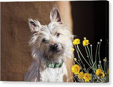 A White Cairn Terrier Sitting Next Canvas Print by Zandria Muench Beraldo