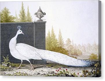 A White Peahen Canvas Print by English School