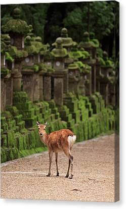 A Wild Deer Stands Next To A Long Line Canvas Print by Paul Dymond