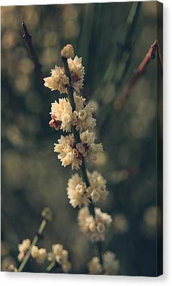 Flowering Canvas Print - A Wish For You by Laurie Search