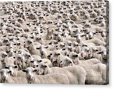 A Wolf In Sheeps Clothing Canvas Print by Mike Agliolo