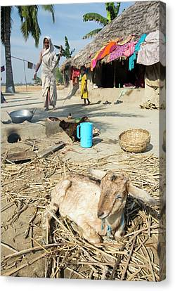 A Woman Subsistence Farmer Cooking Canvas Print by Ashley Cooper