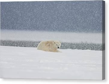 A Yearling Polar Bear Cub Lays Canvas Print