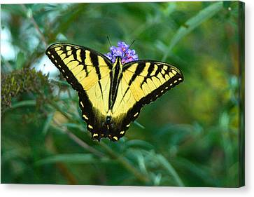 A Yellow Butterfly Canvas Print by Raymond Salani III