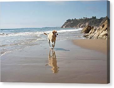 A Yellow Labrador Retriever Reflecting Canvas Print