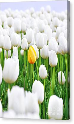 A Yellow Tulip Canvas Print