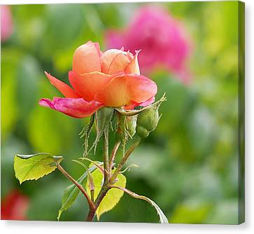 A Young Benjamin Britten Rose Canvas Print by Rona Black