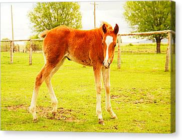 A Young Foal Canvas Print by Jeff Swan