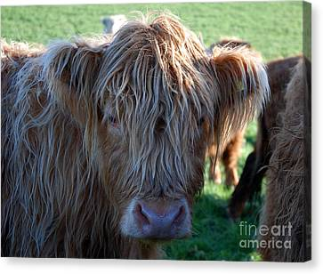 A Young Highland Cow Gazing Intently 0838 Canvas Print by Colin Munro