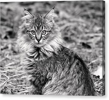 A Young Maine Coon Canvas Print by Rona Black