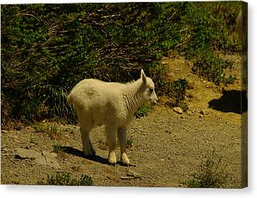 A Young Mountain Goat Canvas Print by Jeff Swan