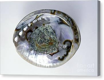 Abalone Shell Canvas Print